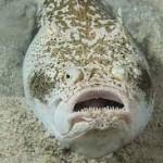 Pesce Prete